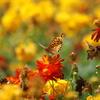 黄色い蝶とコスモス