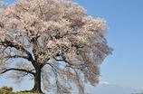 わに塚桜と空