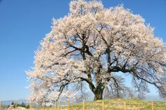 わに塚の桜と青い空