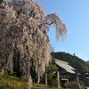 青梅梅岩寺の桜