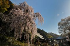 梅岩寺と桜