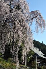 青梅のしだれ桜