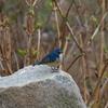 幸せの青い鳥?!