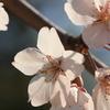 大仙公園の桜2