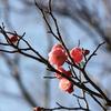 梅が咲いてましたぁ