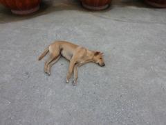 アユタヤー 犬