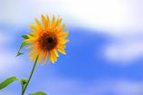 青空と太陽の花