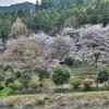 津久井の桜 HDR