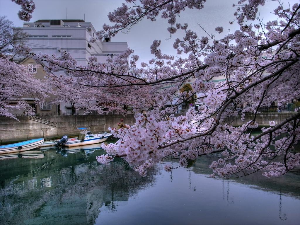 大岡川の桜-1 HDR