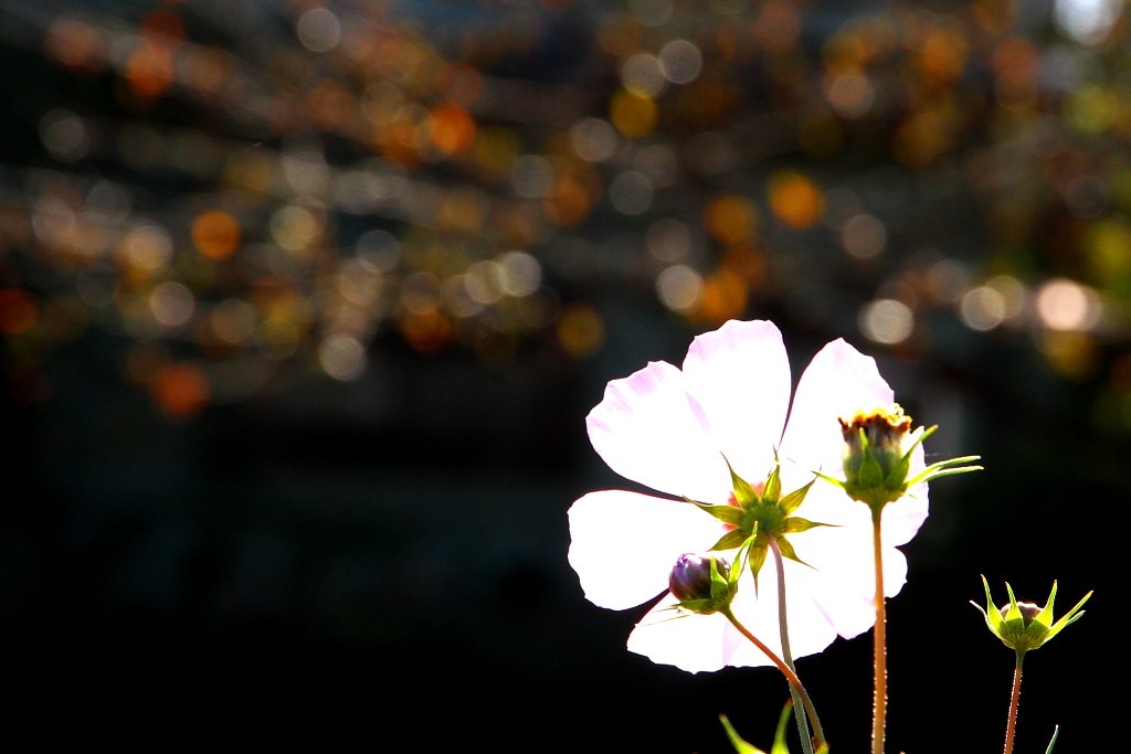 秋桜 Part2