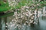 Summitarで桜 #1