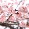 満開早咲き桜3