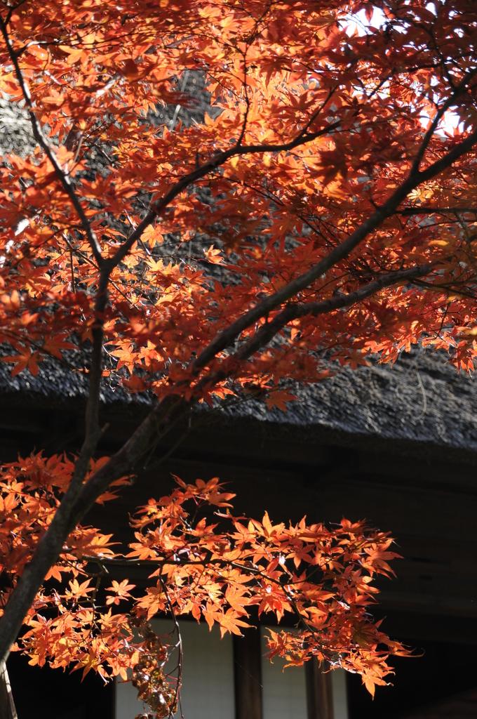 秋陽に映えて