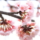 満開早咲き桜2