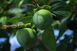 柿の実は青く