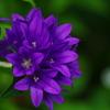 むらさきの花