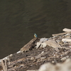 ダム湖のカワセミ