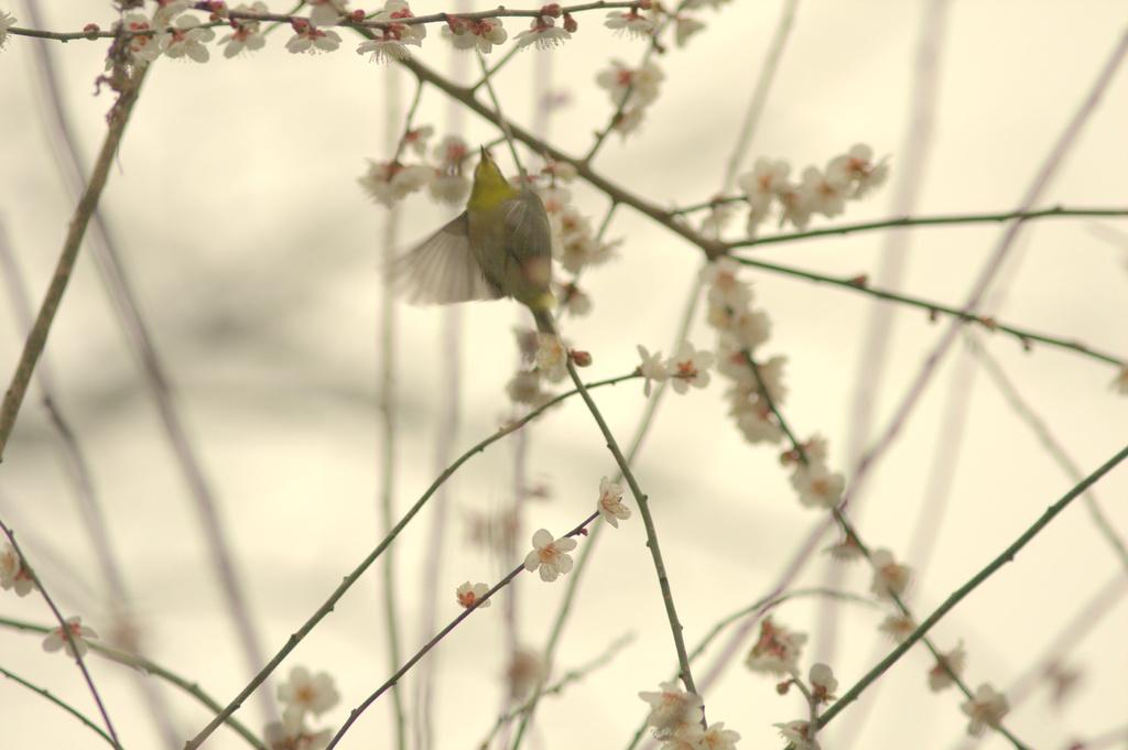 梅にメジロ