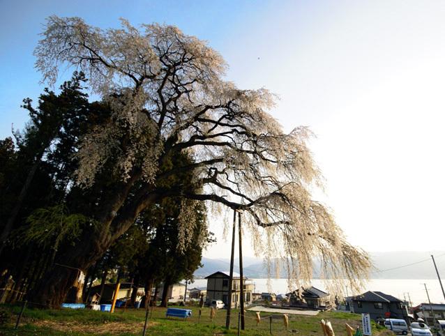 諏訪を見守る船魂社の垂れ桜