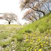 花岡城址の名残桜