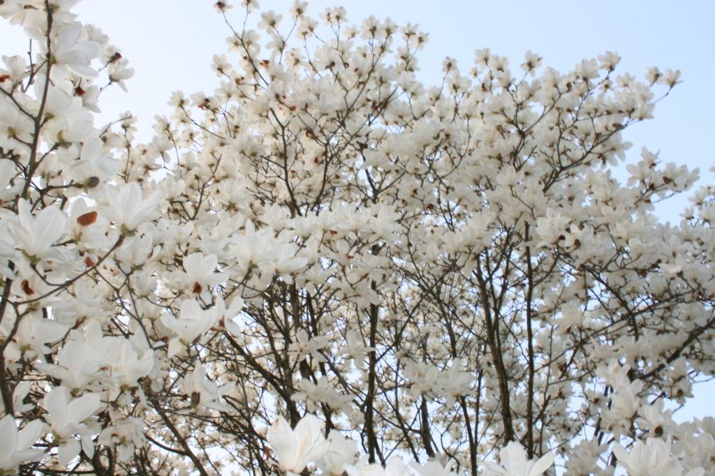 桜じゃないよ