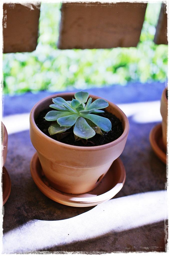 Sacculent
