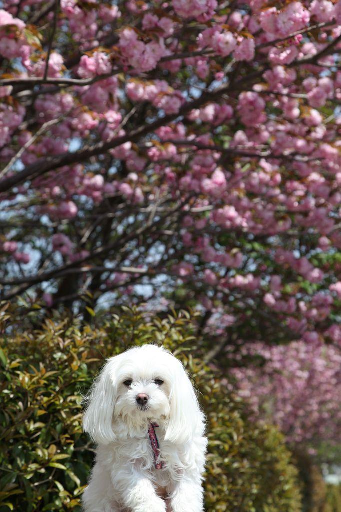 花見より犬見