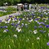 2012加茂花菖蒲園 059