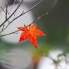 一葉の紅葉