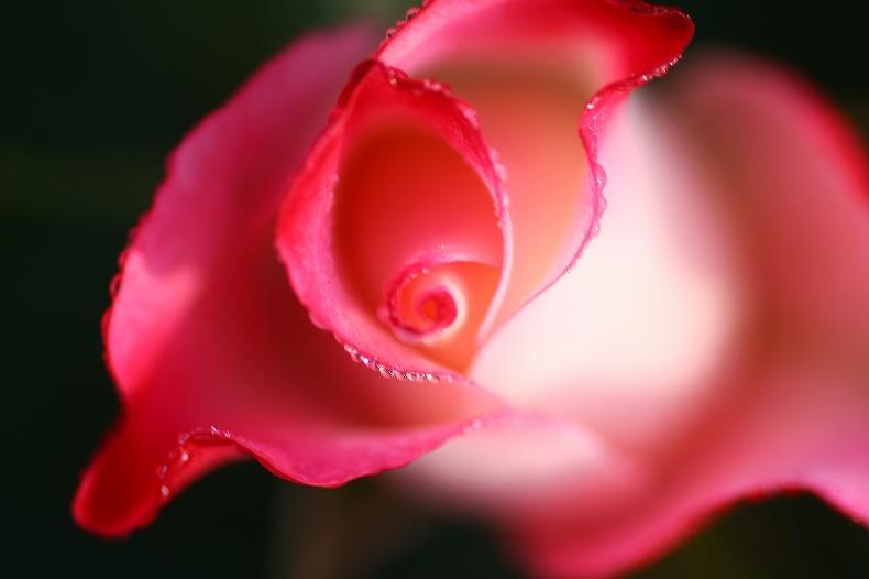 夢みる薔薇  (1)