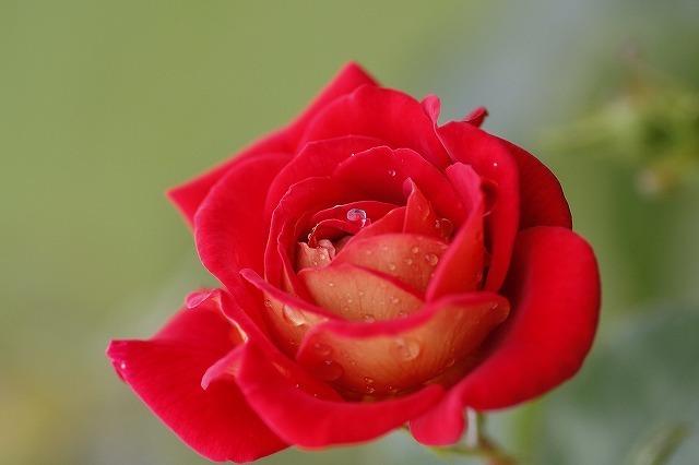 薔薇の回廊 7