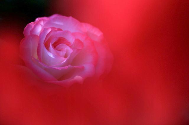 薔薇の回廊 1