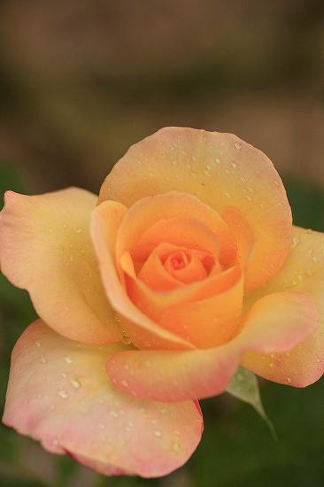 薔薇の回廊 4