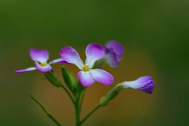 ハマダイコンの花  1