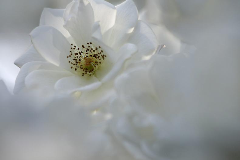 夢みる薔薇   (2)