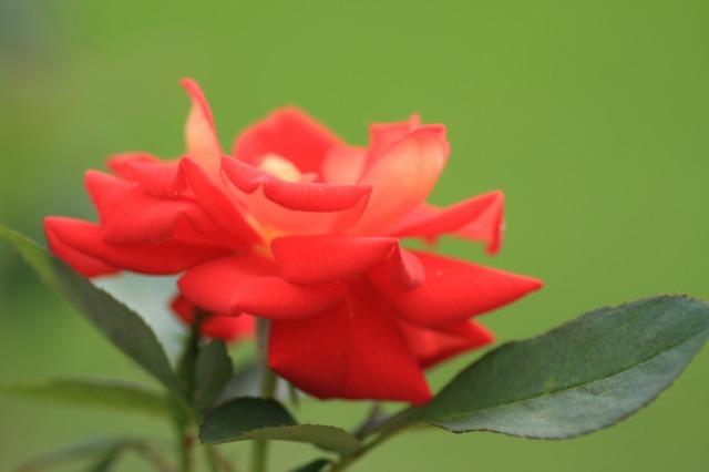 薔薇の回廊 8