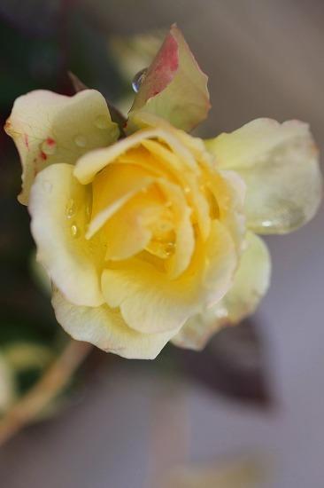 薔薇の回廊  9
