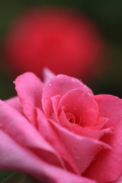 薔薇の回廊 5