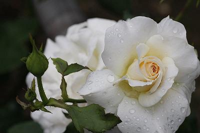 薔薇の回廊 11