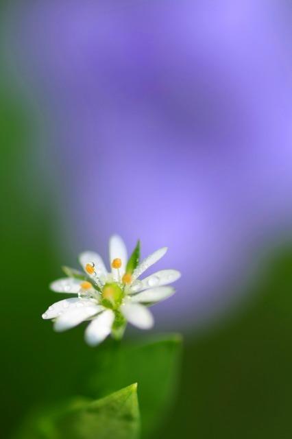 野辺に咲く