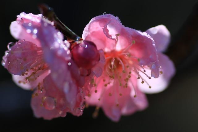 梅と水玉 3