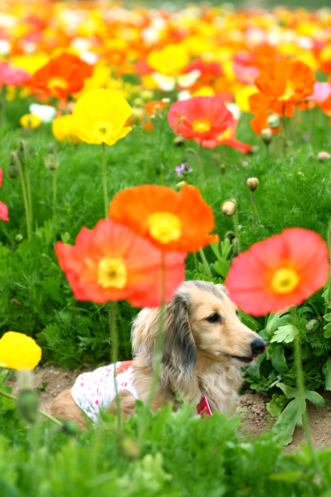 Field poppy and dog