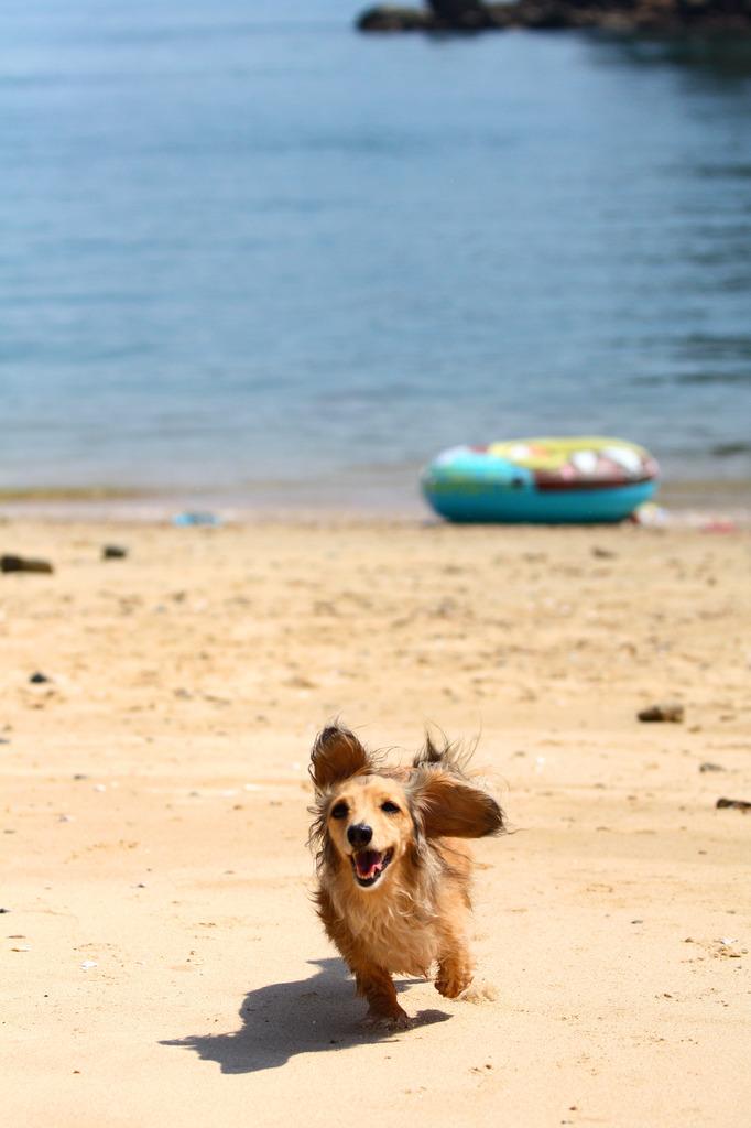 犬も走る夏!090817