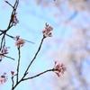 桜ピンクと空ブルー