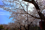 桜の背比べ