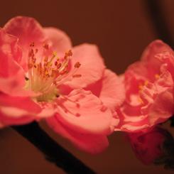 NIKON NIKON D300で撮影した植物(我が家にやってきた春)の写真(画像)