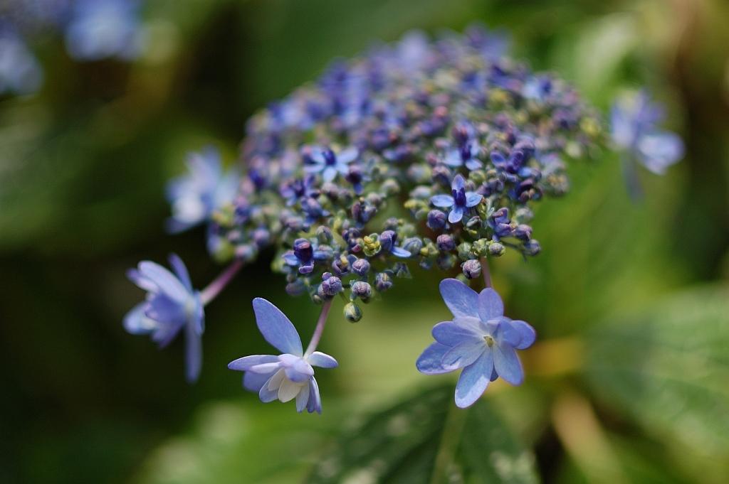 紫陽花「伊豆の花」