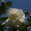青空に白バラ