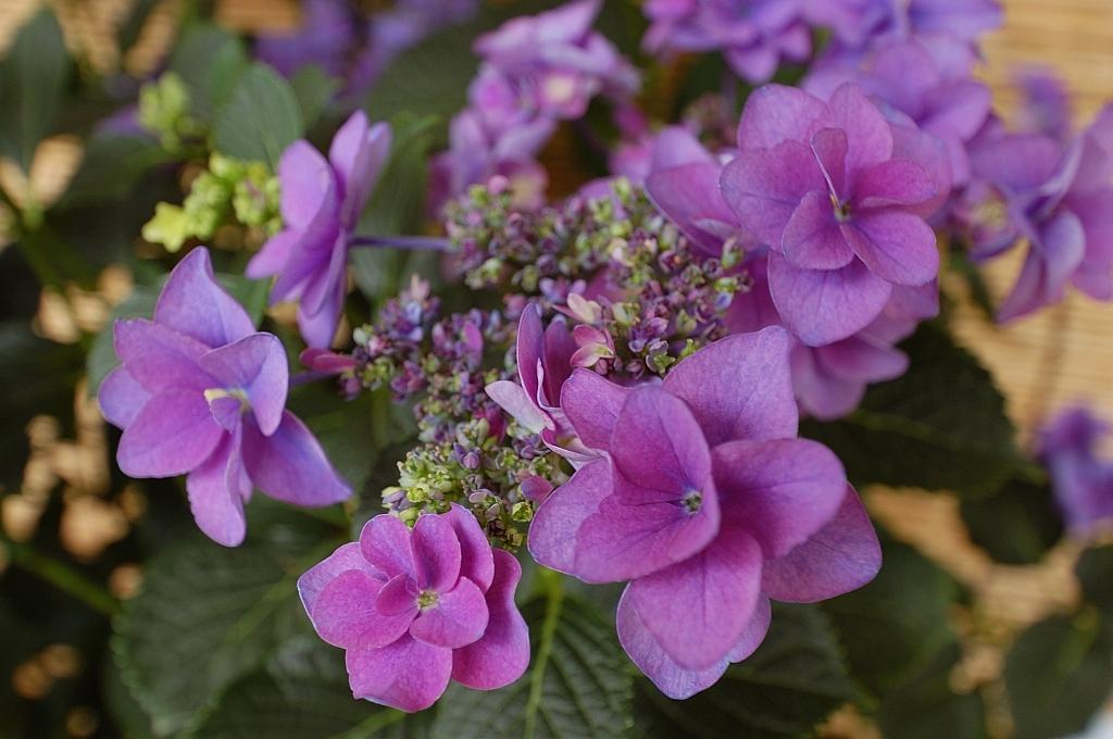 紫陽花「ミミ」