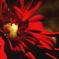 紅蓮の花びら